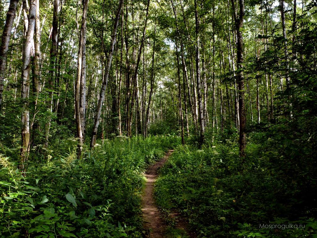 Алёшкинский лес березняк